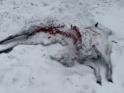 2021-02-09_wolfsangriff_stuecken_01